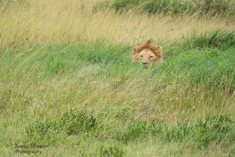 Another Lion in the Grass