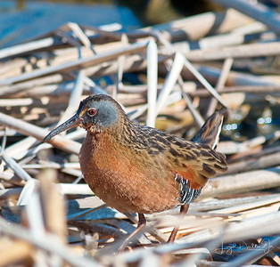 Cattail Marsh - Virginia Rails     2-8-18