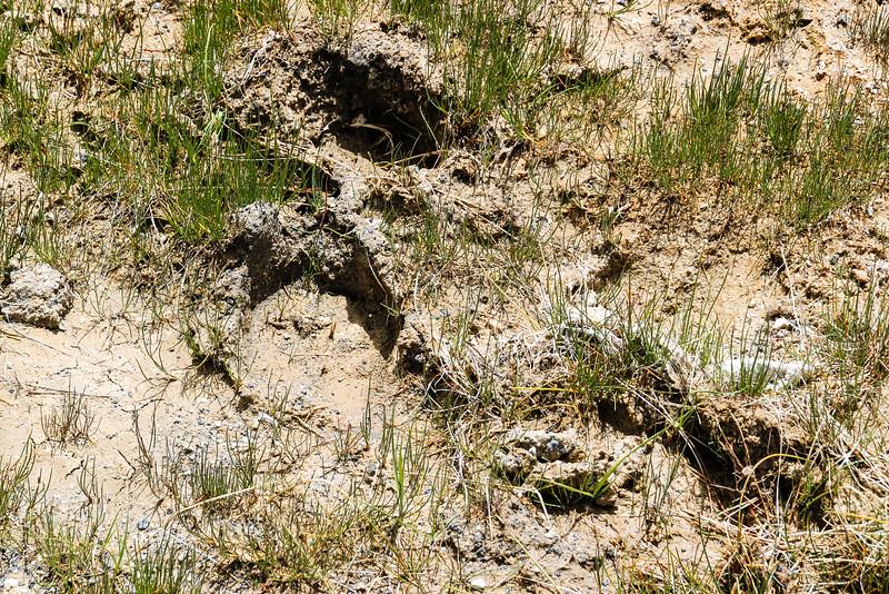 Bear Footprint - Yellowstone National Park