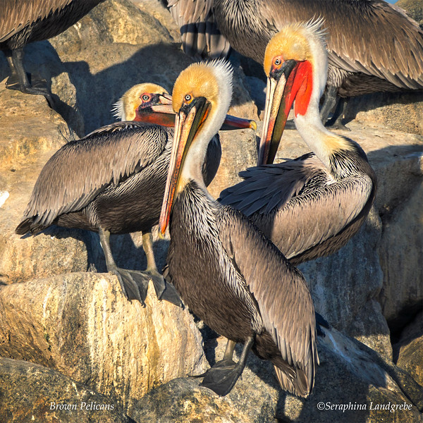 _DSC3603Three Pelicans 12X12.jpg