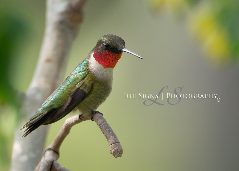 LS - Birds - Ruby Throated Hummingbird-1.jpg