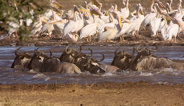 Wildebeests,