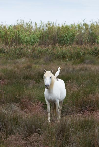 white bird rides the back of a white horse