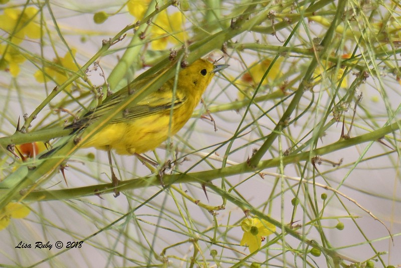 Yellow Warbler - 4/16/2018 - Agua Caliente County Park Campground