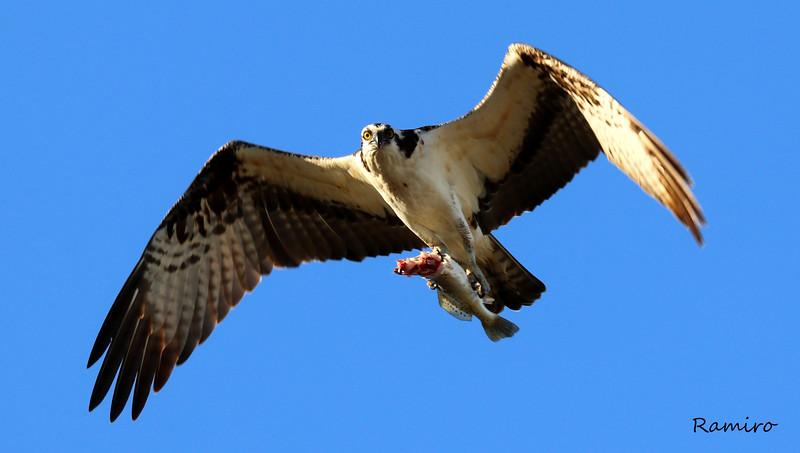 Osprey IMG_3931.jpg