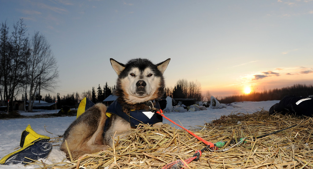 . Flash, a team dog for musher Mike Williams Jr., rests on his bed of straw at the Nikolai checkpoint during the 2014 Iditarod Trail Sled Dog Race at sunrise on Wednesday, March 5, 2014. (AP Photo/The Anchorage Daily News, Bob Hallinen)