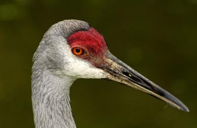 Cranes, Storks, Pelicans, Spoonbills, Anhingas, Cormorants