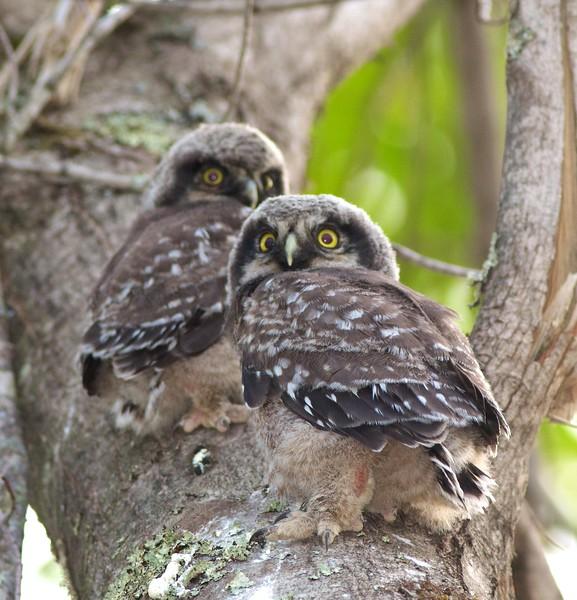 Northern Hawk Owl baby juvenile Owl Ave Sax-Zim Bog MN Northern Hawk Owl two babies juveniles Owl Avenue Sax-Zim Bog MN IMG_1269.jpg