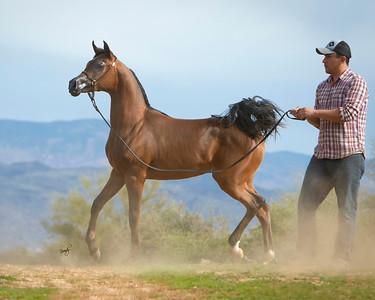 Sandhu Arabians