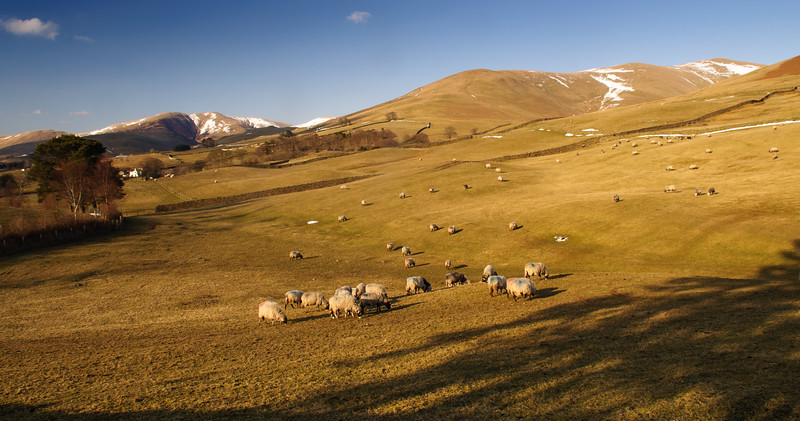 Howgill Fells sheep