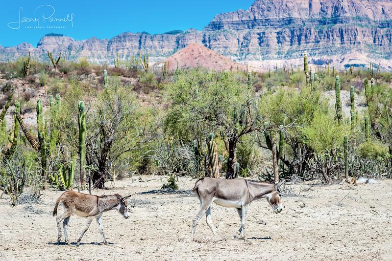 Wild Donkeys - baja