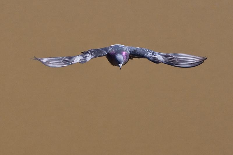 3574 Pigeon in Flight.jpg