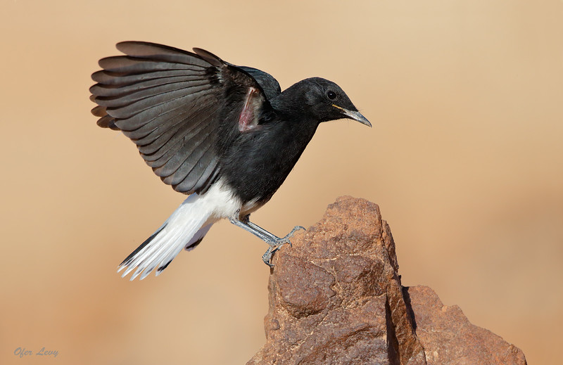 White-crowned Wheatear 2.jpg