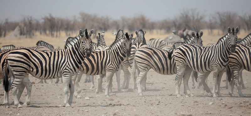 Burchell's Zebra (sub-species of Plains Zebra)