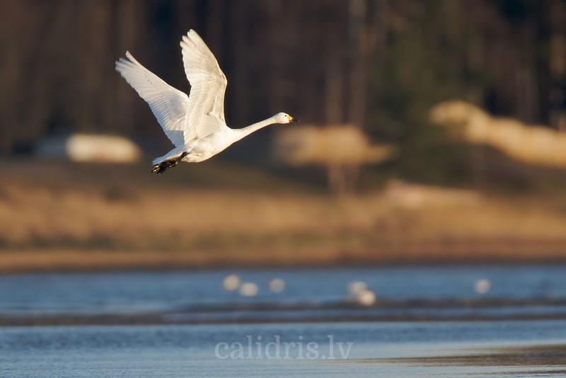 Bewick's swan in flight / Mazais gulbis lidojumā