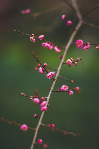 Hangzhou Botanical Gardens - Plum Blossoms