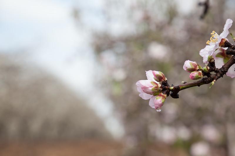 Raindrop on the almond blossom
