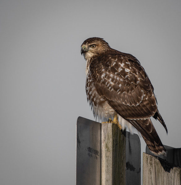 Red-Tailed Hawk on post