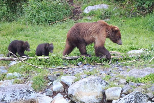 Brown Bears Southeast Alaska 2014