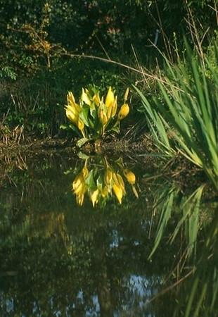 Lysichiton ameriacanum .jpg