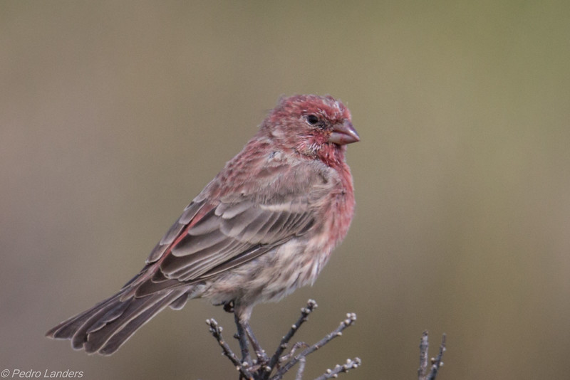 Almost Purple Finch