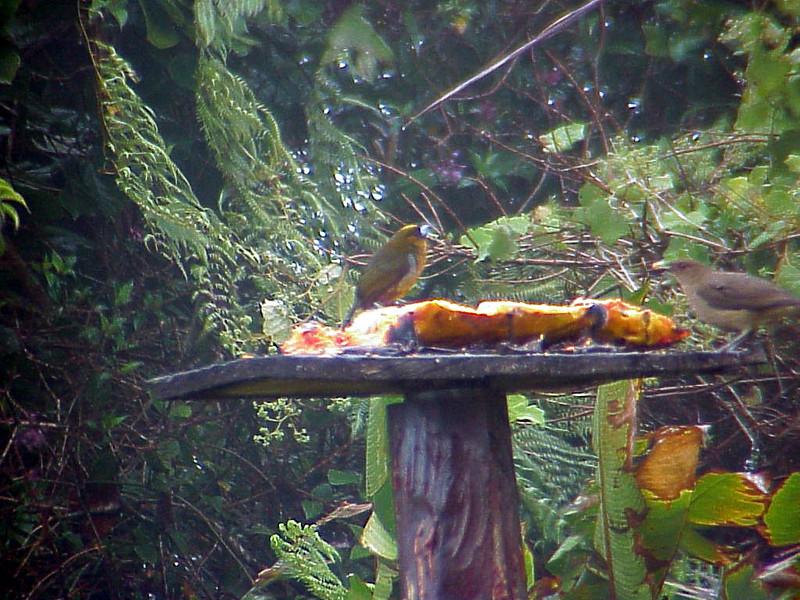 Prong-billed Barbet at Poas Volcana Lodge Costa Rica 2-10-03 (50898217)