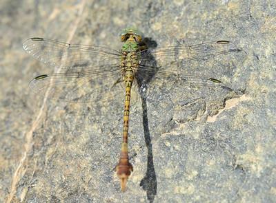 Paragomphus genei - Green Hooktail