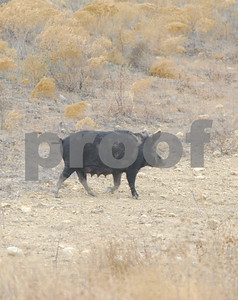 tda-rule-change-to-allow-limited-use-of-feral-pig-toxicant-in-texas