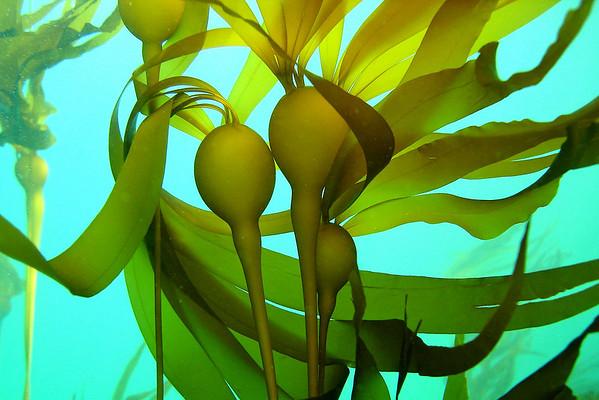 Seaweed / algae / kelp