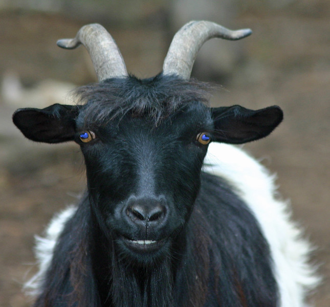 Tennessee fainting goat 1
