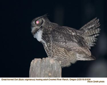 Great Horned Owl A81638.jpg