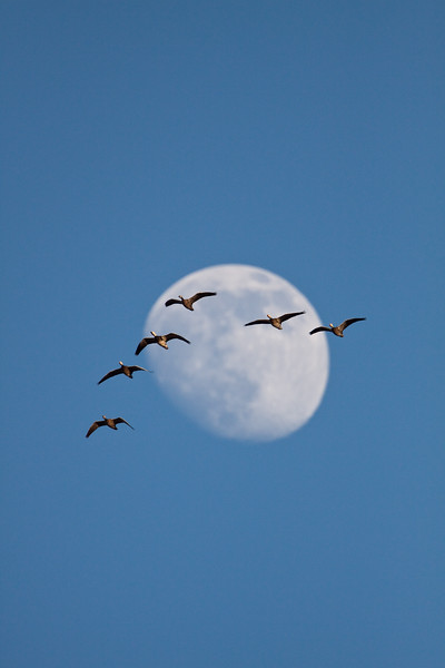 Snow geese flock flying in front of moon.