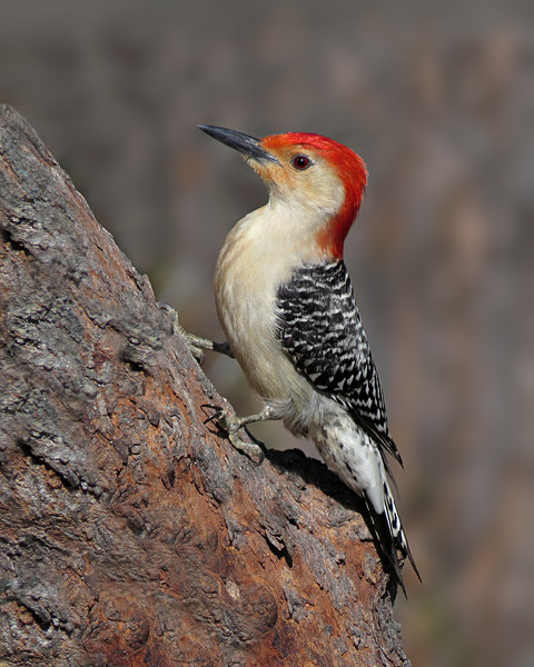 sx50_red_bellied_woodpecker_bit_277.jpg