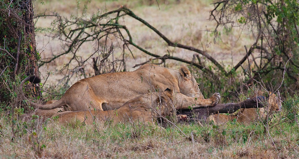 Buffaloes battling with Lions