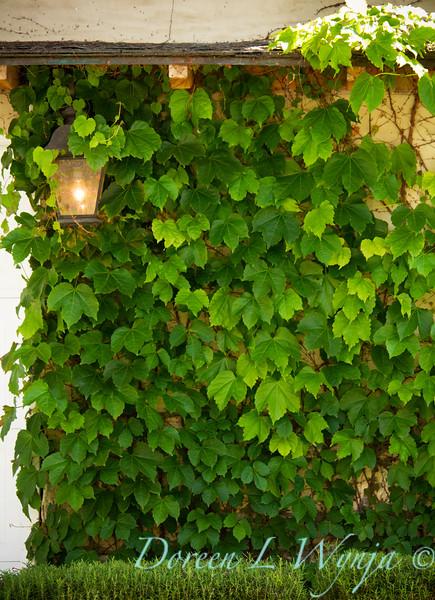 Parthenocissus tricuspidata Veitchii_040.jpg