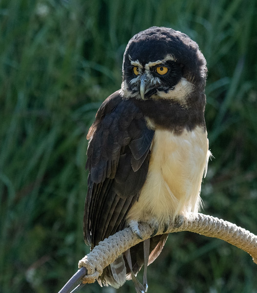 Spectacled Owl perch
