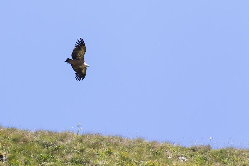 Etseri, Vale gier, Griffon Vulture