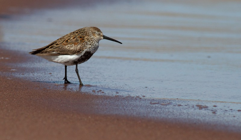 Dunlin Wisconsin Point Superior WI IMG_1305.jpg