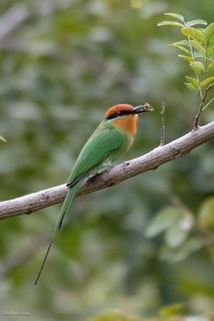 Bee-eater, Böhm's