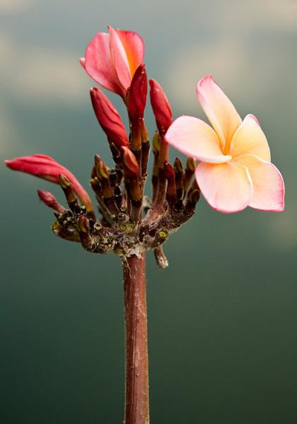 amadardflower2.jpg
