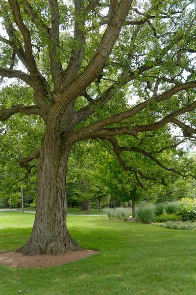 Dow Gardens - Oak Tree.jpg