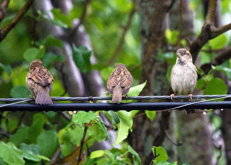 Three sparrows on a power line