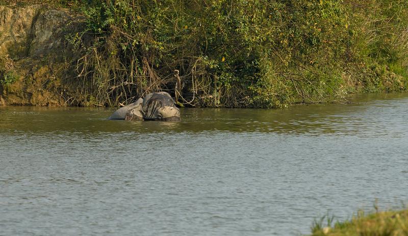 Elephant-swimming-across-lake-kaziranga-2.jpg