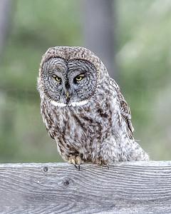 Great Gray Owl - 2017