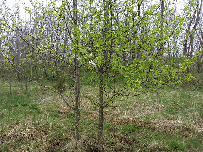 Asian Pear in the east field