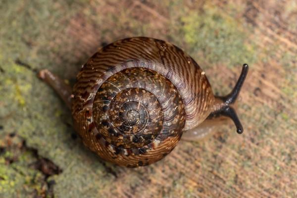 Thalassohelix zelandiae