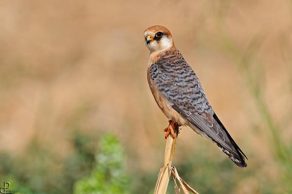 Kestrels and Falcons - בזים