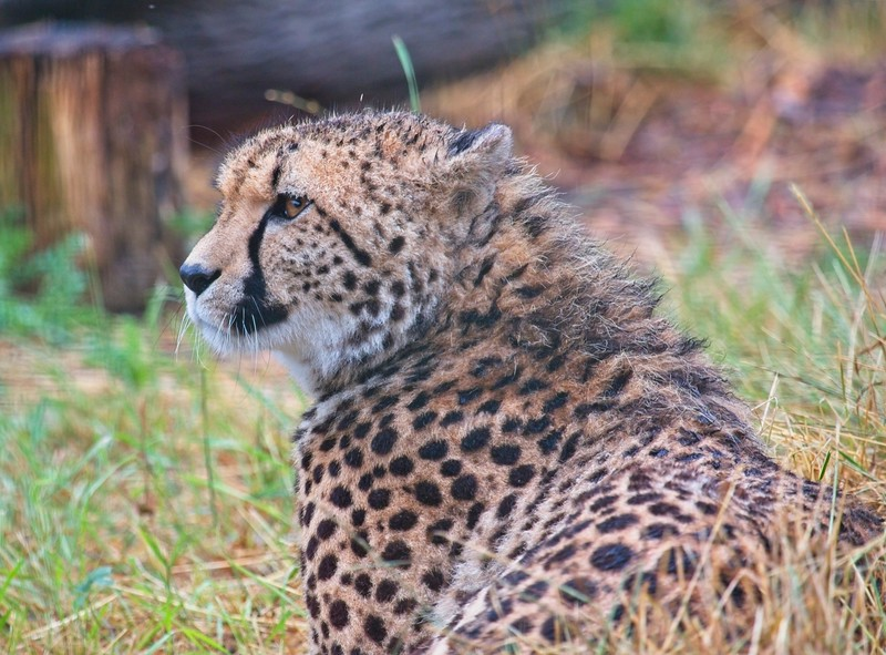 Big Cat Sanctuary (Southern Cheetah, Willow)