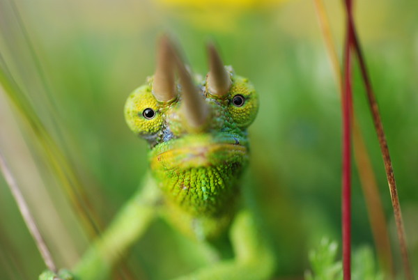 STOCK IMAGES - Chameleons and Anoles