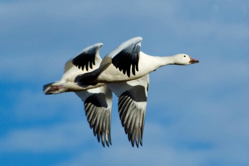 Goose - Snow - Bosque Del Apache NWR - NM - 03